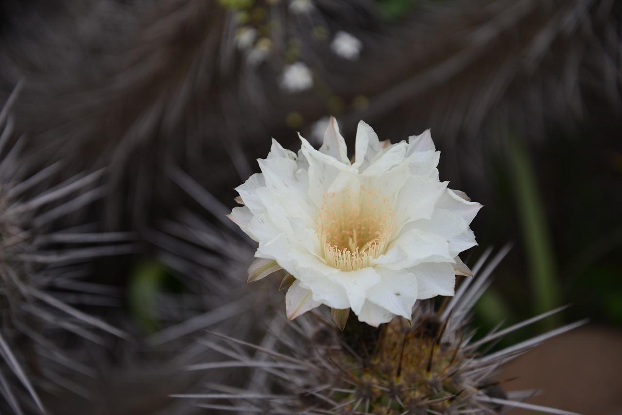 Flowering Desertcactusflowersflowerdesert Free Photo From