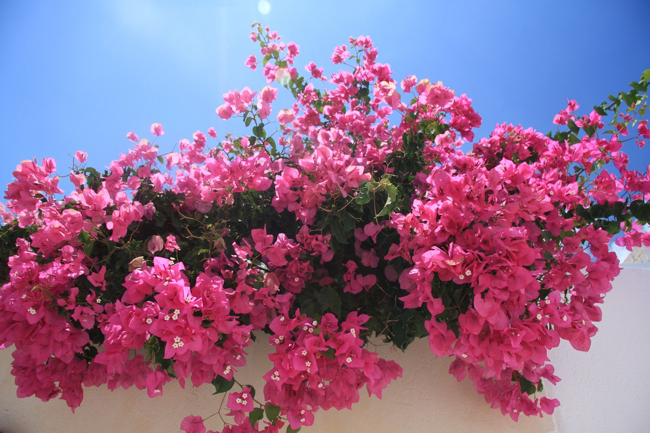 flowers bougainvillea pink free photo