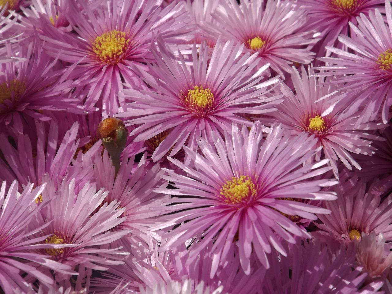 Asterflowersrayitosnaturepink Petals Free Photo From Needpix