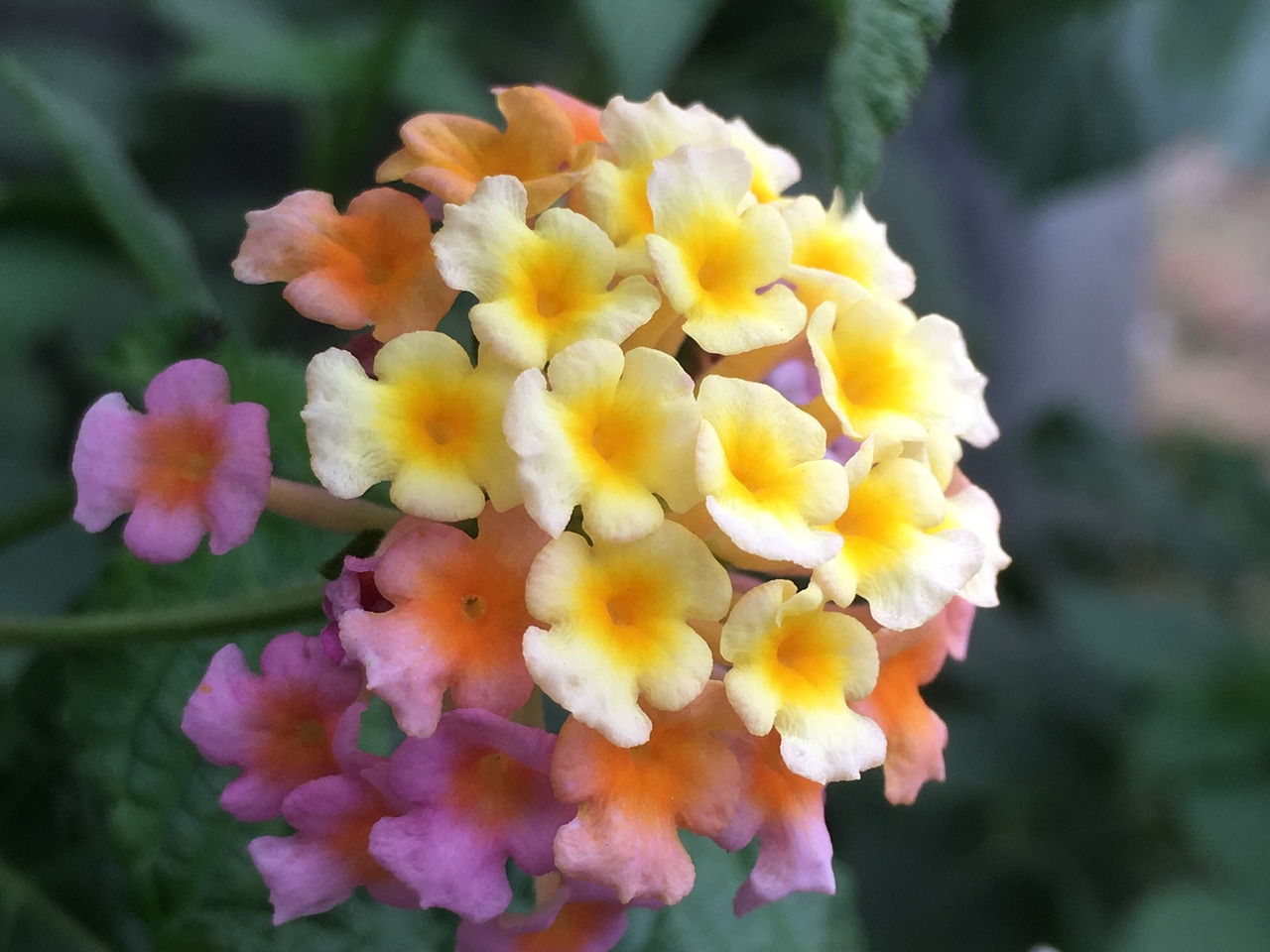 lantana camara tickberry big-sage free photo