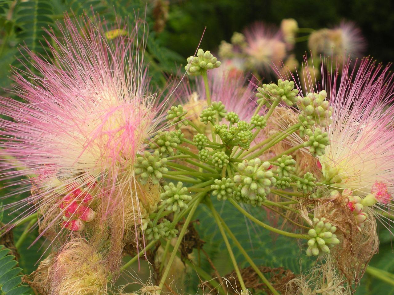 Flowerssilk Tree Flowertotal Restitution Free Photo From Needpix