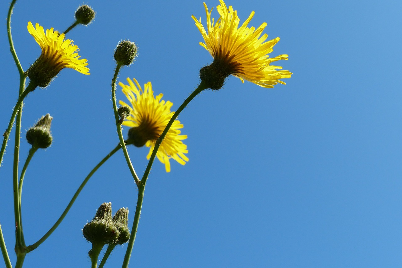 flowers blue sky yellow flowers free photo