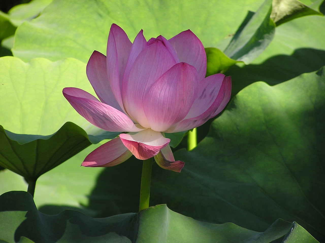 flowers garden water lily free photo