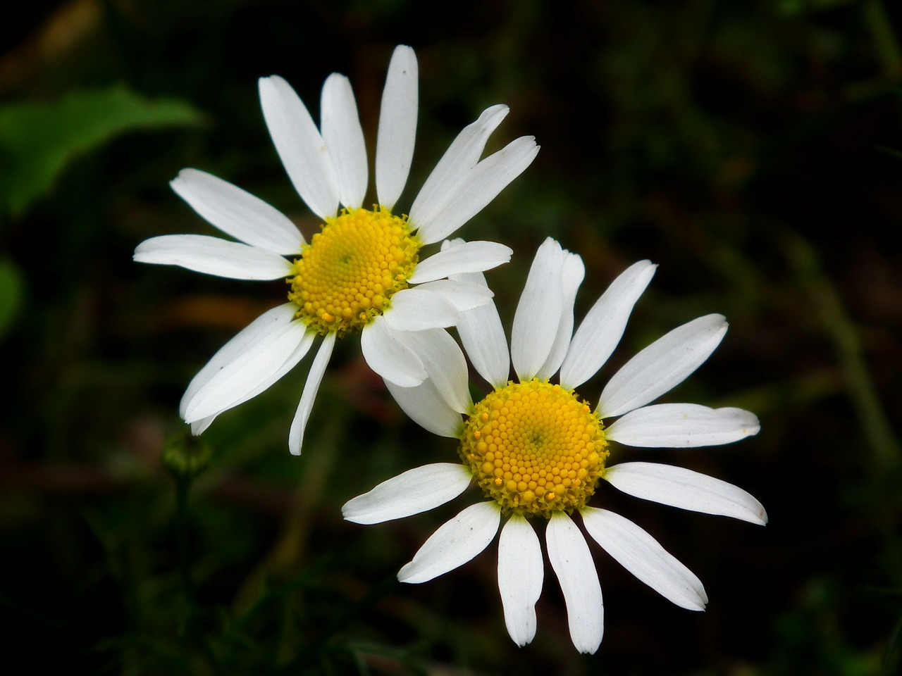 flowers flower chamomile free photo
