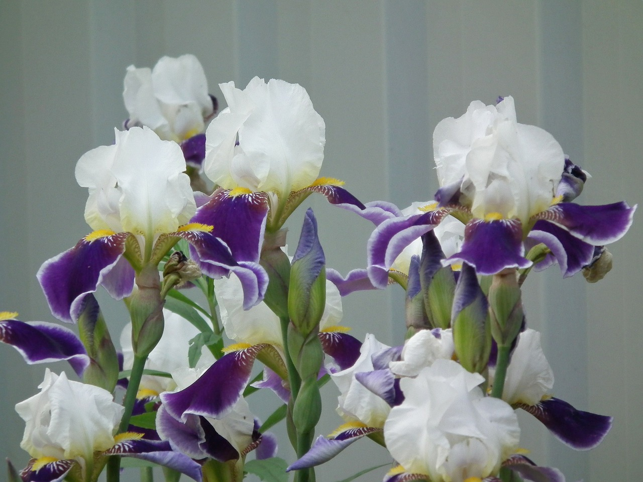 flowers iris flower free photo