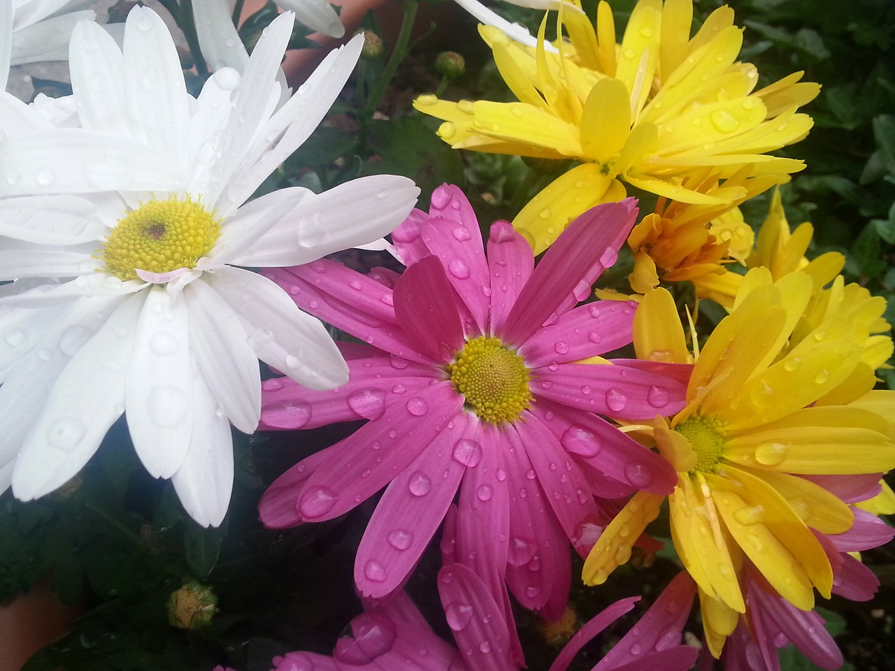 flowers colorful raindrop free photo