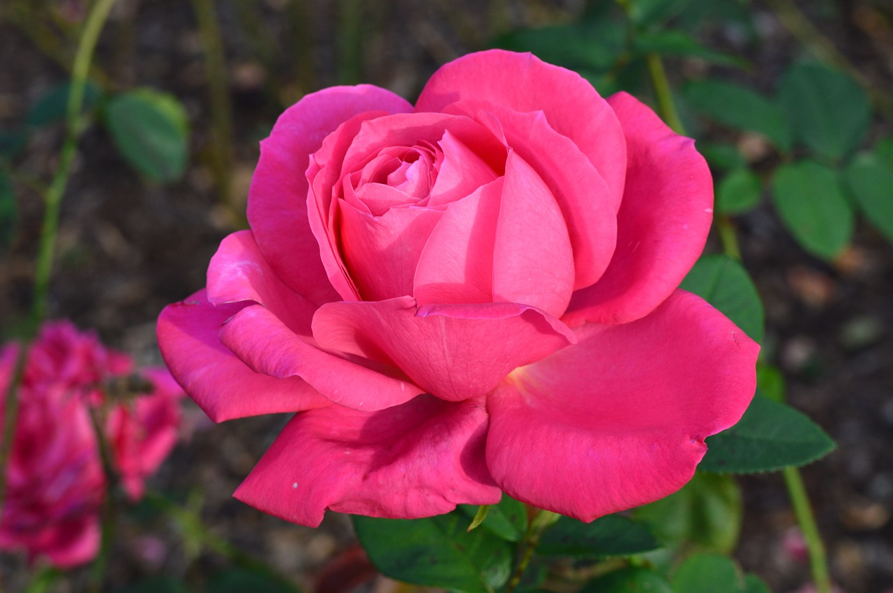 flowers rose pink free photo
