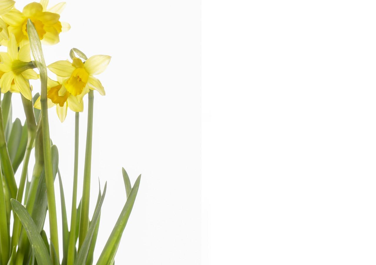 Flowersdaffodilsyellowspringnarcissus Pseudonarcissus Free