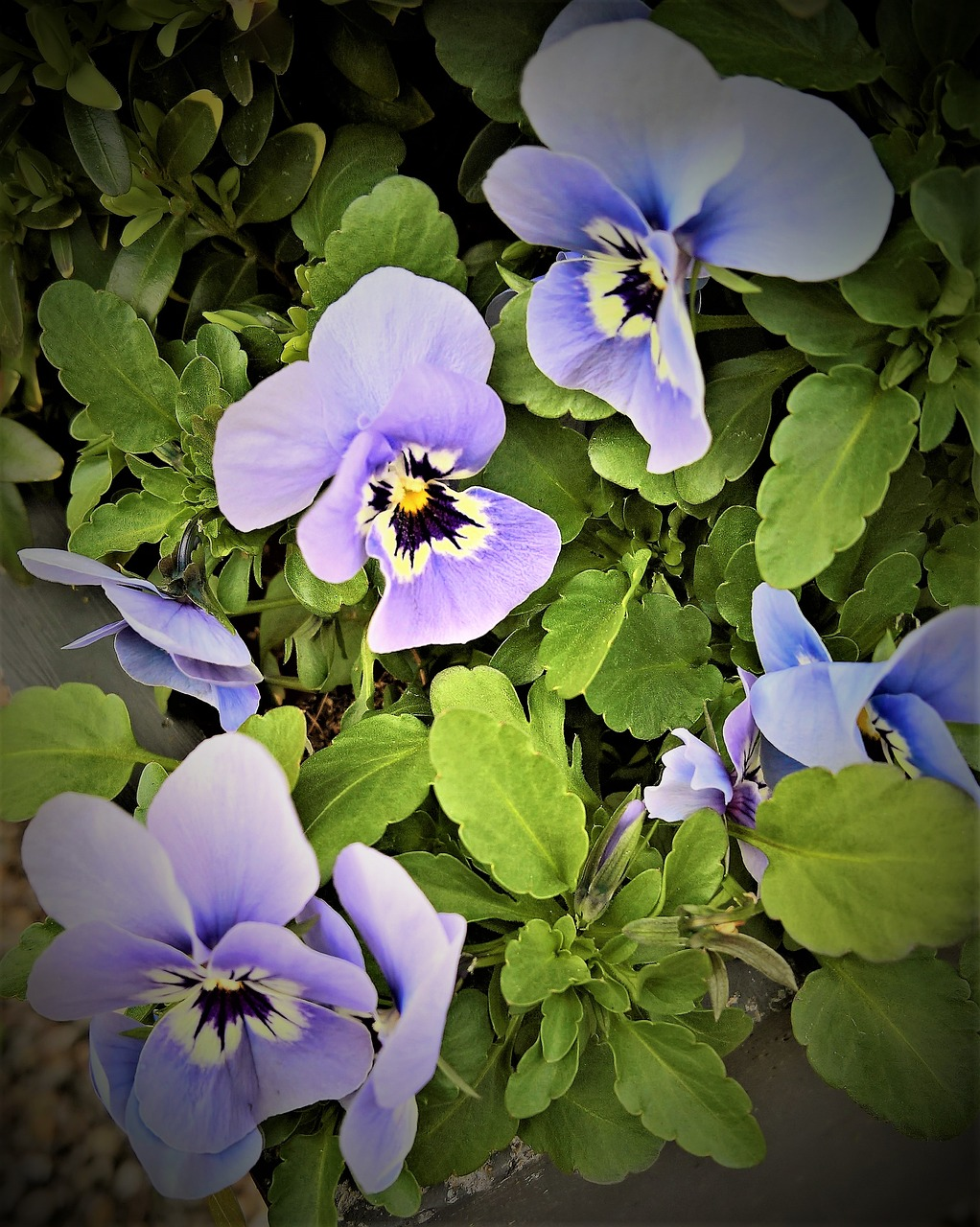 Flowers400500pansyspring Flowerslight Blue Free Photo From