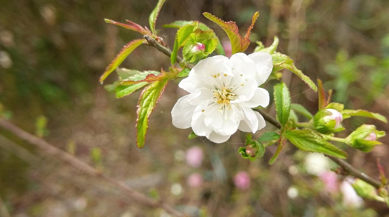 Flowerswhiteplum blossom free photo from needpix flowers white plum blossom mightylinksfo