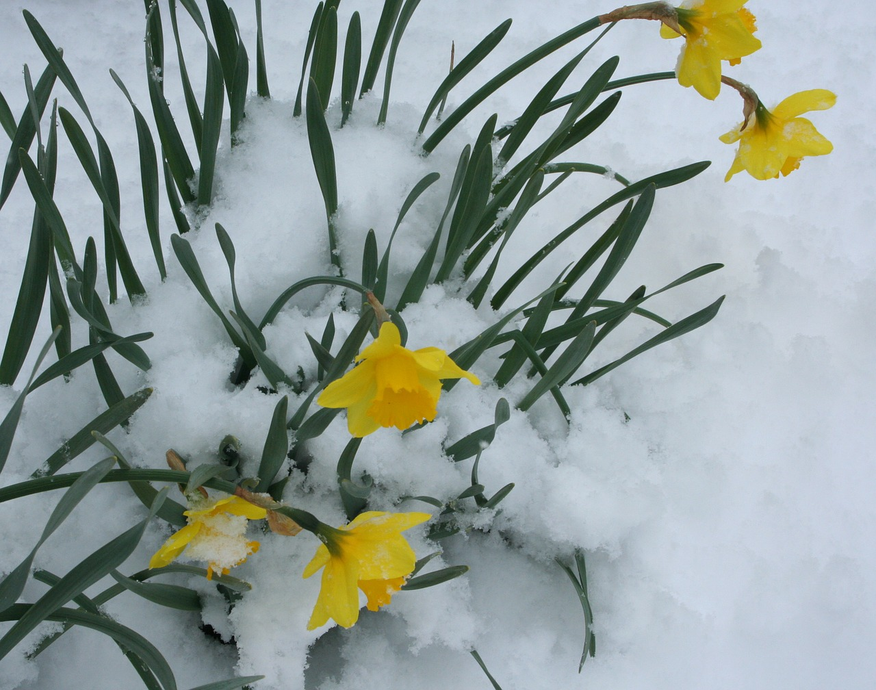 flowers daffodils snow free photo