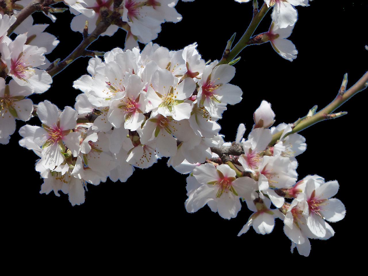 Яблони в цвету картинки на прозрачном фоне, ден