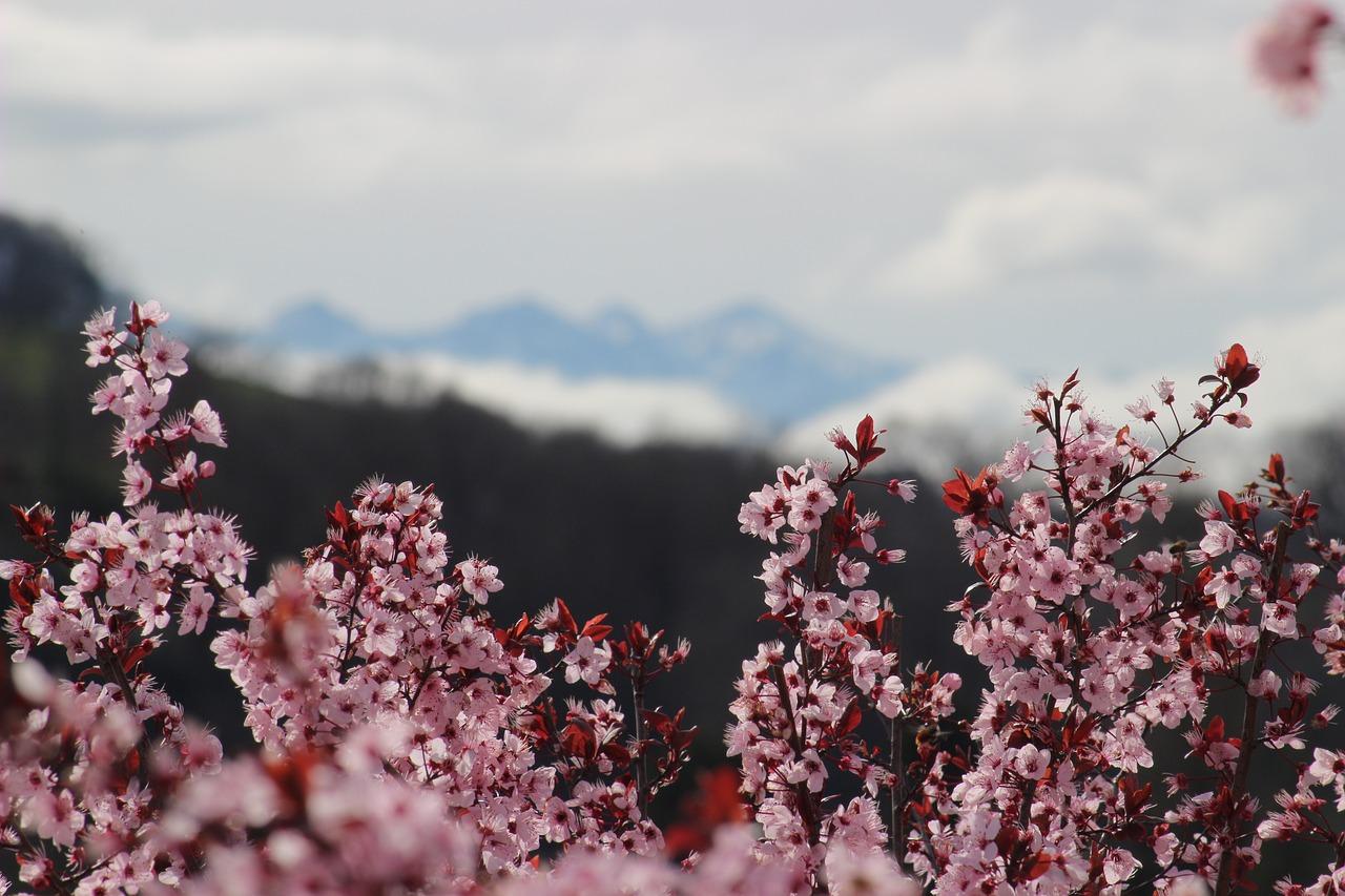 Flowersspringtreespinkflowering Tree Free Photo From Needpix