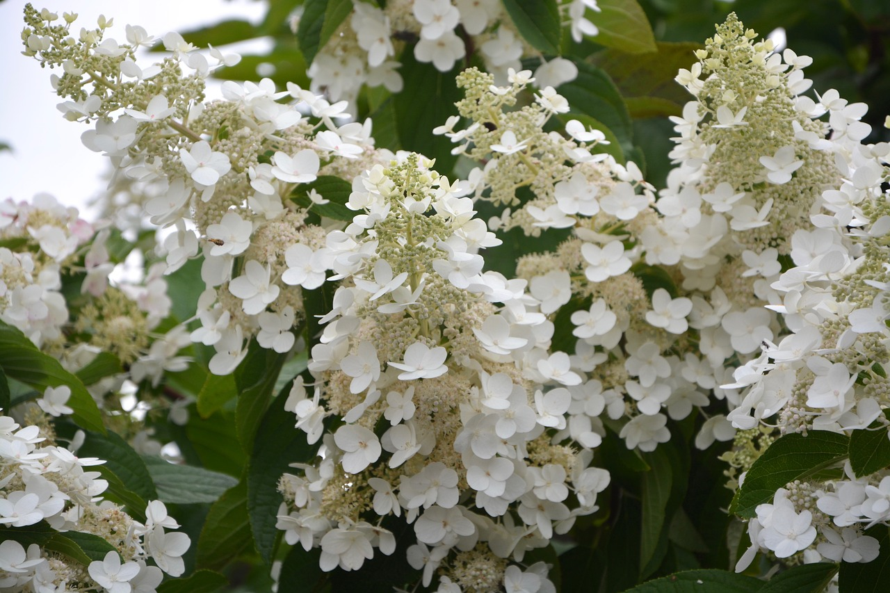 Flowerssmall White Flowershydrangea White Conegardennature