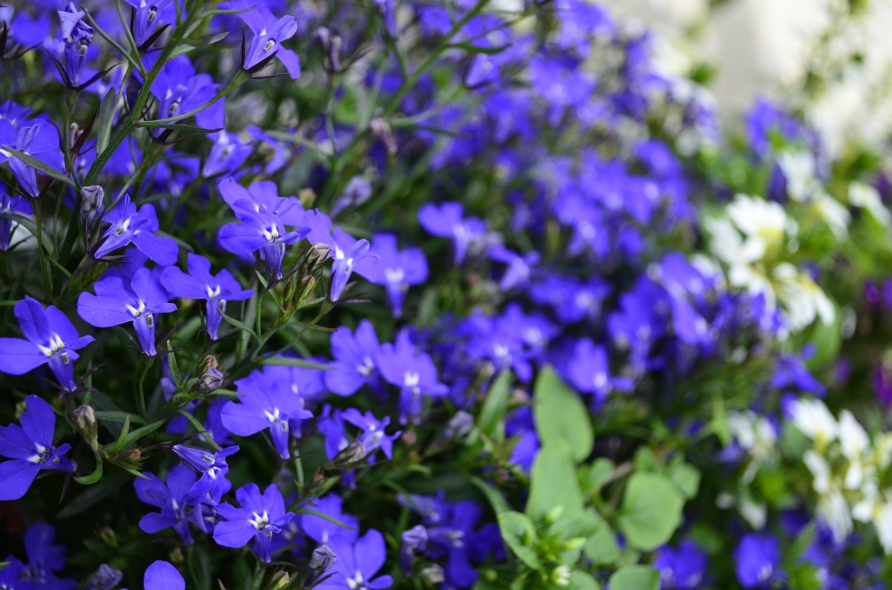 flowers blue blue flowers free photo