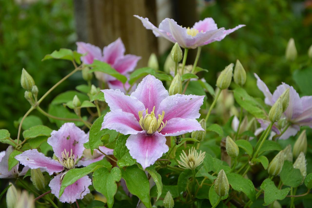 Flowersclematispinkfloweredbuds Free Photo From Needpix