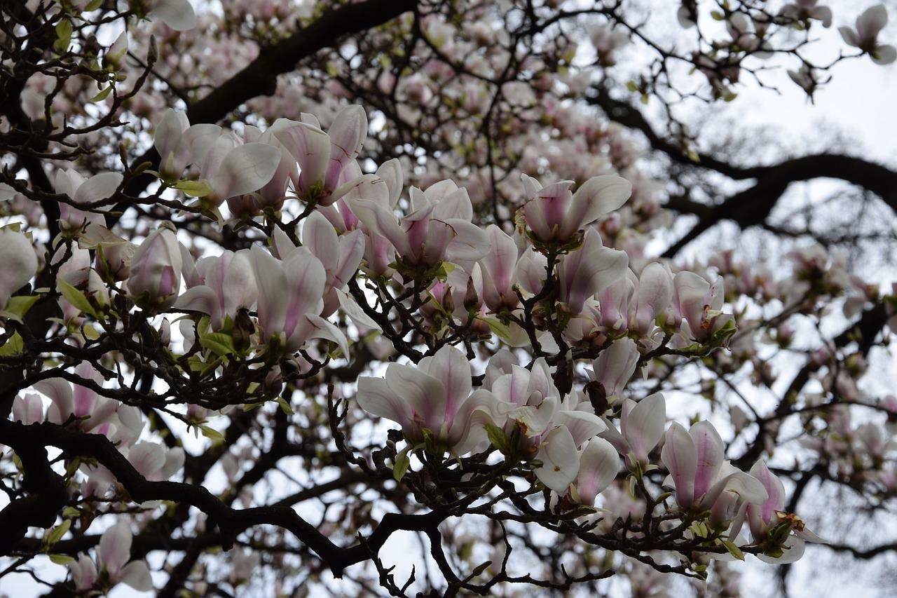 Flowerstreesflowering Treenaturespring Free Photo From Needpix