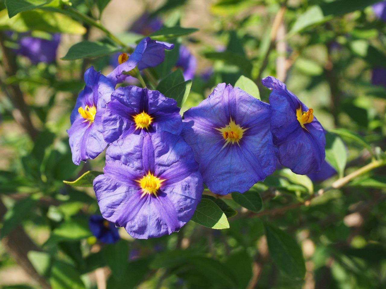 Flowersvioletbushpurpleblue violet free photo from needpix flowersvioletbushpurpleblue violetlycianthes rantonnetiisolanum rantonnetii izmirmasajfo