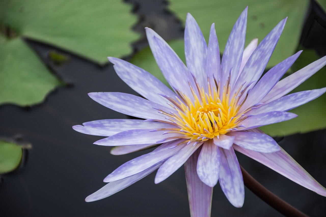Flowerslotuspurple Lotusbloomlotus Leaf Free Photo From