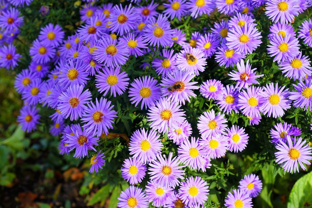 Flowersasterslichtspielflower Purplepurple Free Photo From