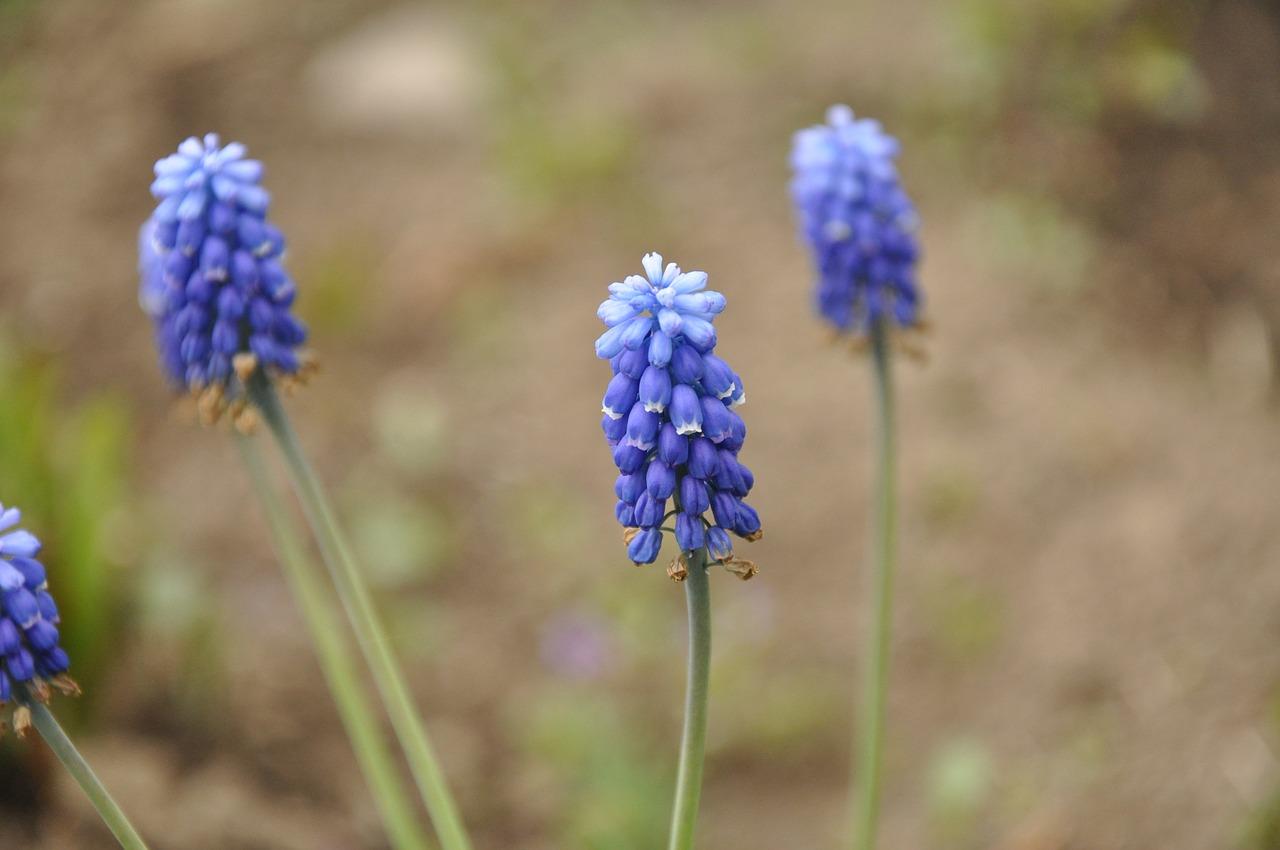 Flowersblue Flowersblue Flowerinflorescenceflora Free Photo