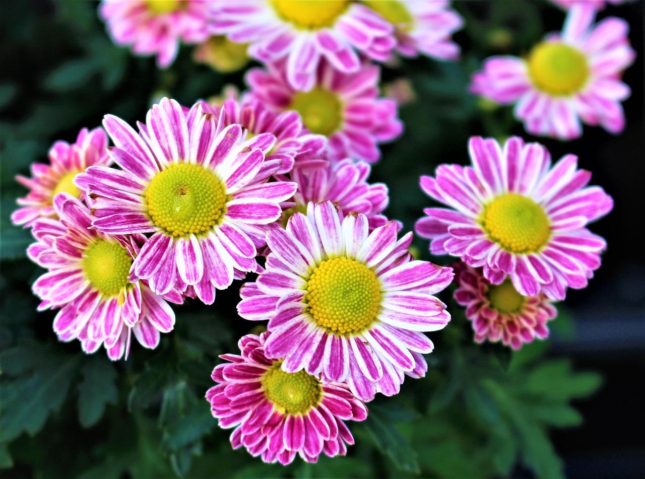 Flowerschrysanthemumflowerplantgarden free photo from needpix flowers chrysanthemum flower izmirmasajfo