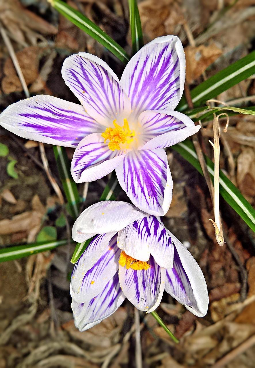 Flowerscrocusspring Flowersearly Bloomerpurple White Flowers