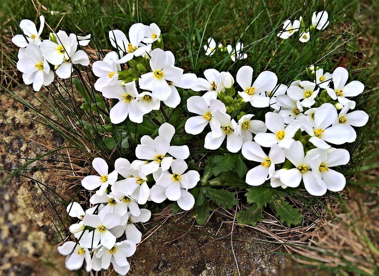 Flowerssnow Flake Flowersmall White Flowersspring Flowersgarden
