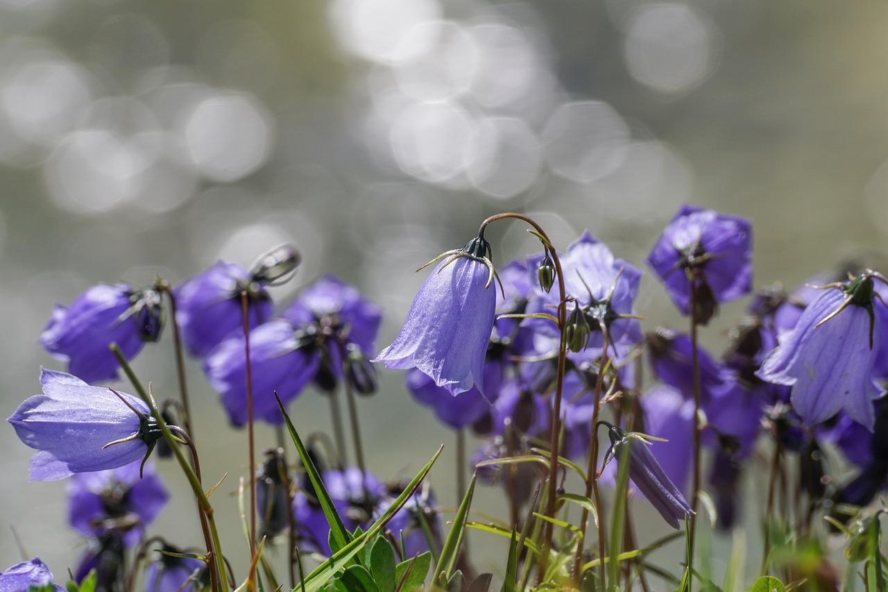 flowers, violet, small bellflower, campanula cochlearifolia, alpine bellflower, bellflower, alpine, nature, summer, mood, atmospheric, lighting,free pictures, free photos, free images, royalty free, free illustrations, public domain