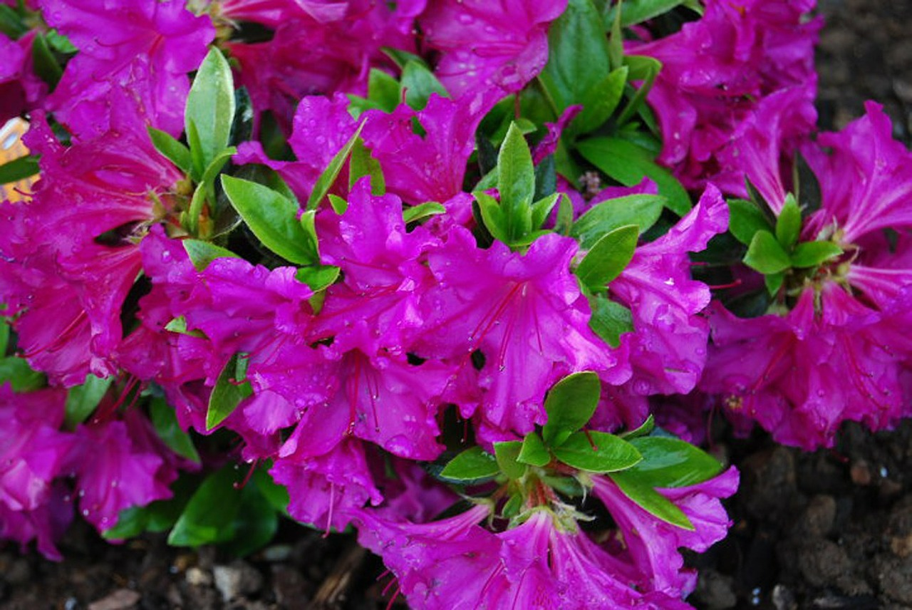 flowers azalea plant free photo