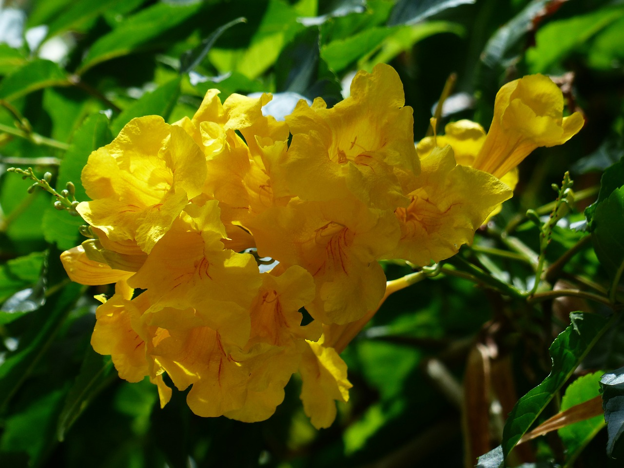 flowers yellow trumpet flowers tecoma stans free photo