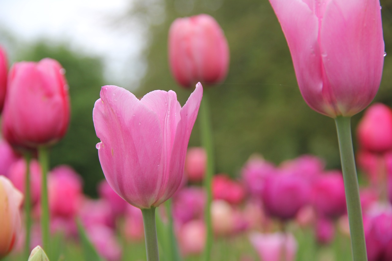 flowers tulips spring free photo