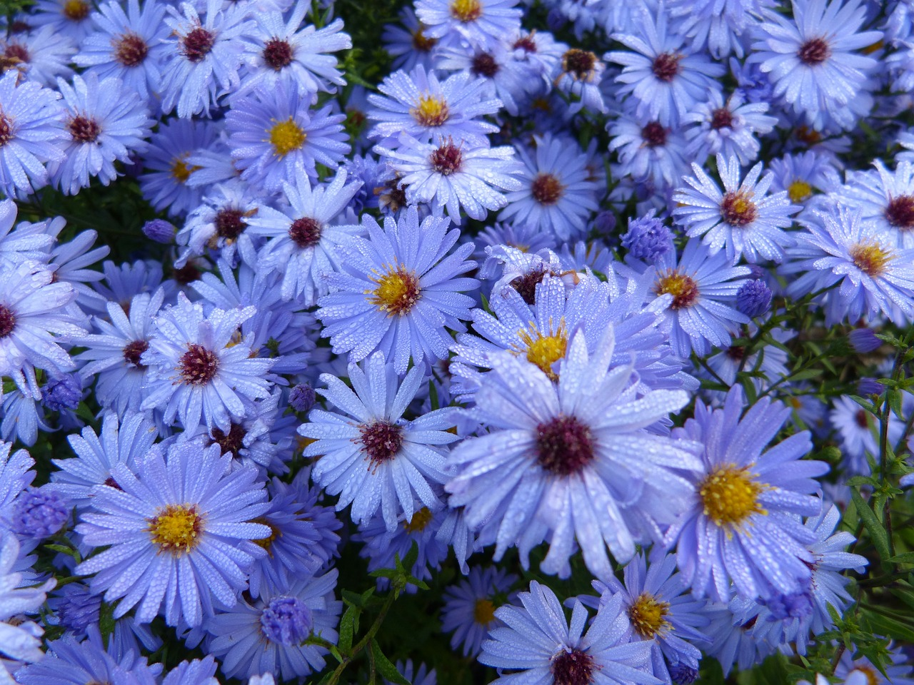 flowers blue nature free photo