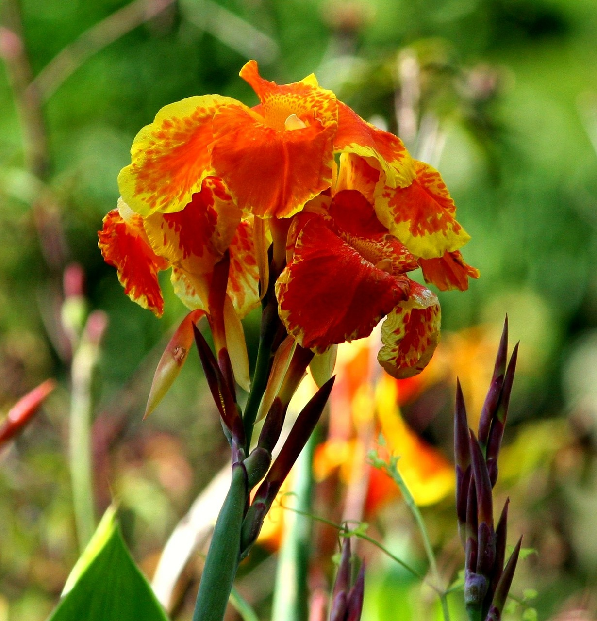 canna lily,flowers,orange,garden,plant,pretty,fragrant,free pictures, free photos, free images, royalty free, free illustrations, public domain