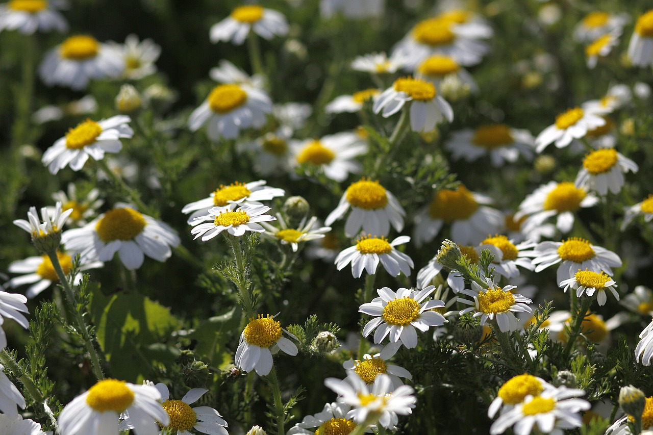 flowers daisies spring free photo