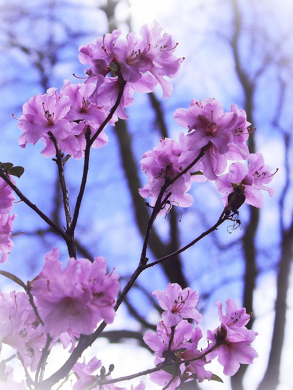 Flowersbushspringpinkblue Free Photo From Needpix