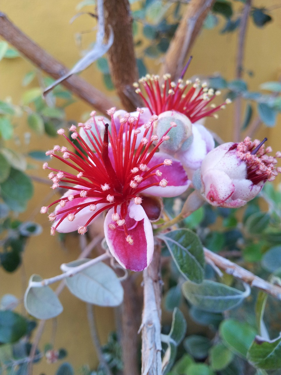 flowers fig tree brazilian free photo