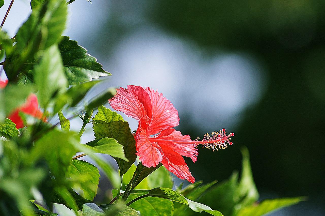 Flowersredhibiscusplantnature Free Photo From Needpix