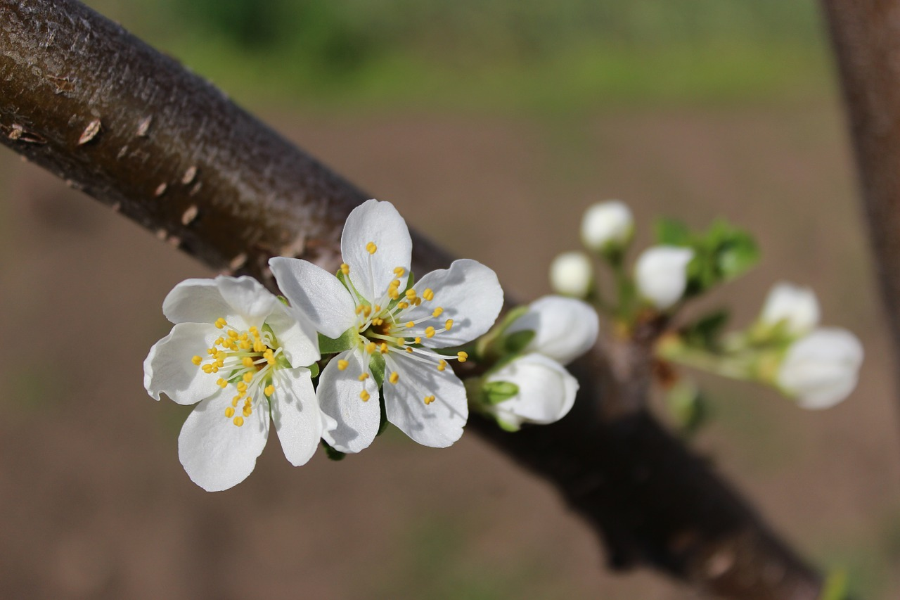 Flowersapple Blossomsspringflowering Treesflowering Tree Free
