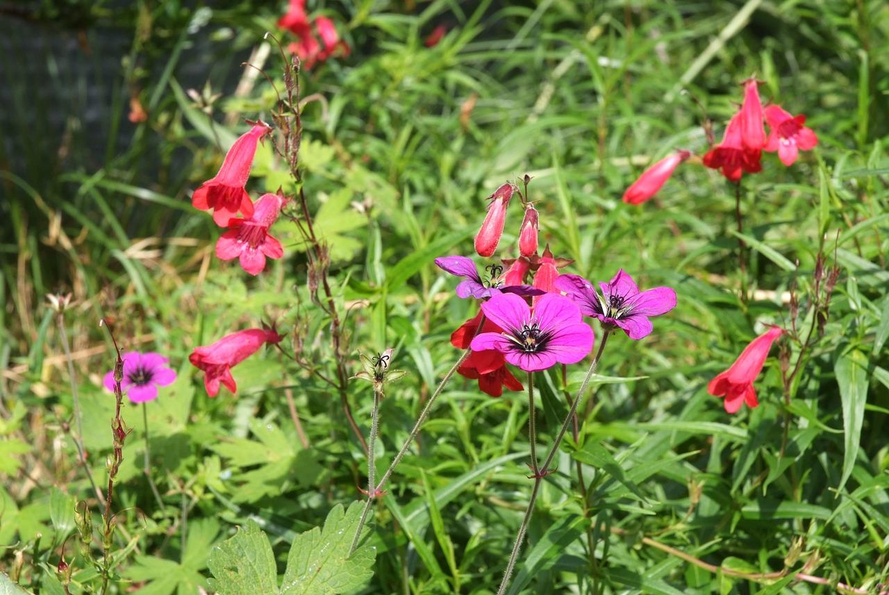 Flowers In Wild Grassdevils Teardrops Flowerspurple Wild Geraniums