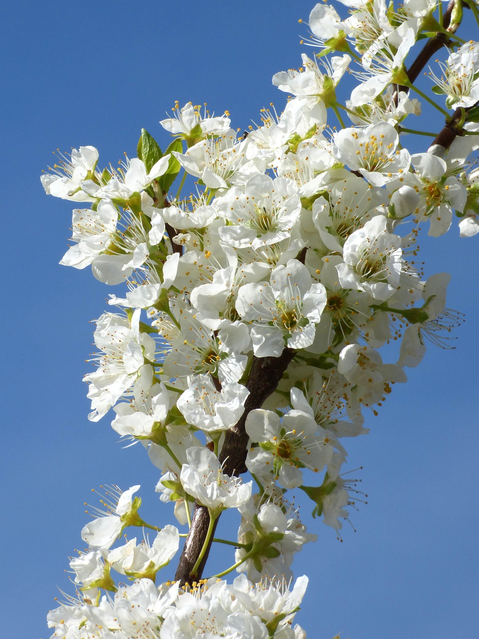 flowery branch plum flowers free photo