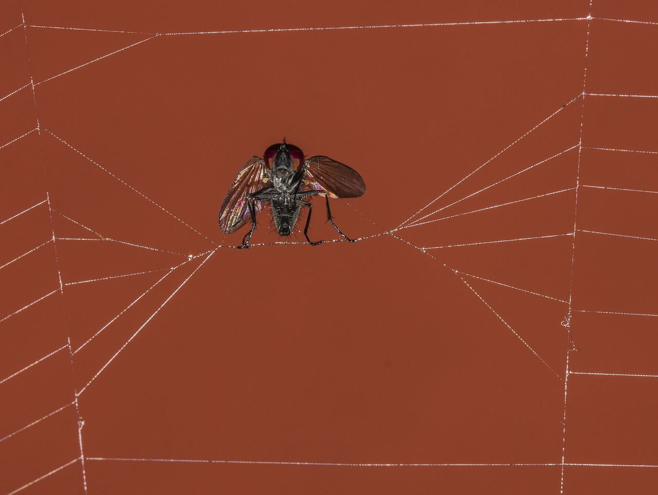 fly trapped spiderweb free photo