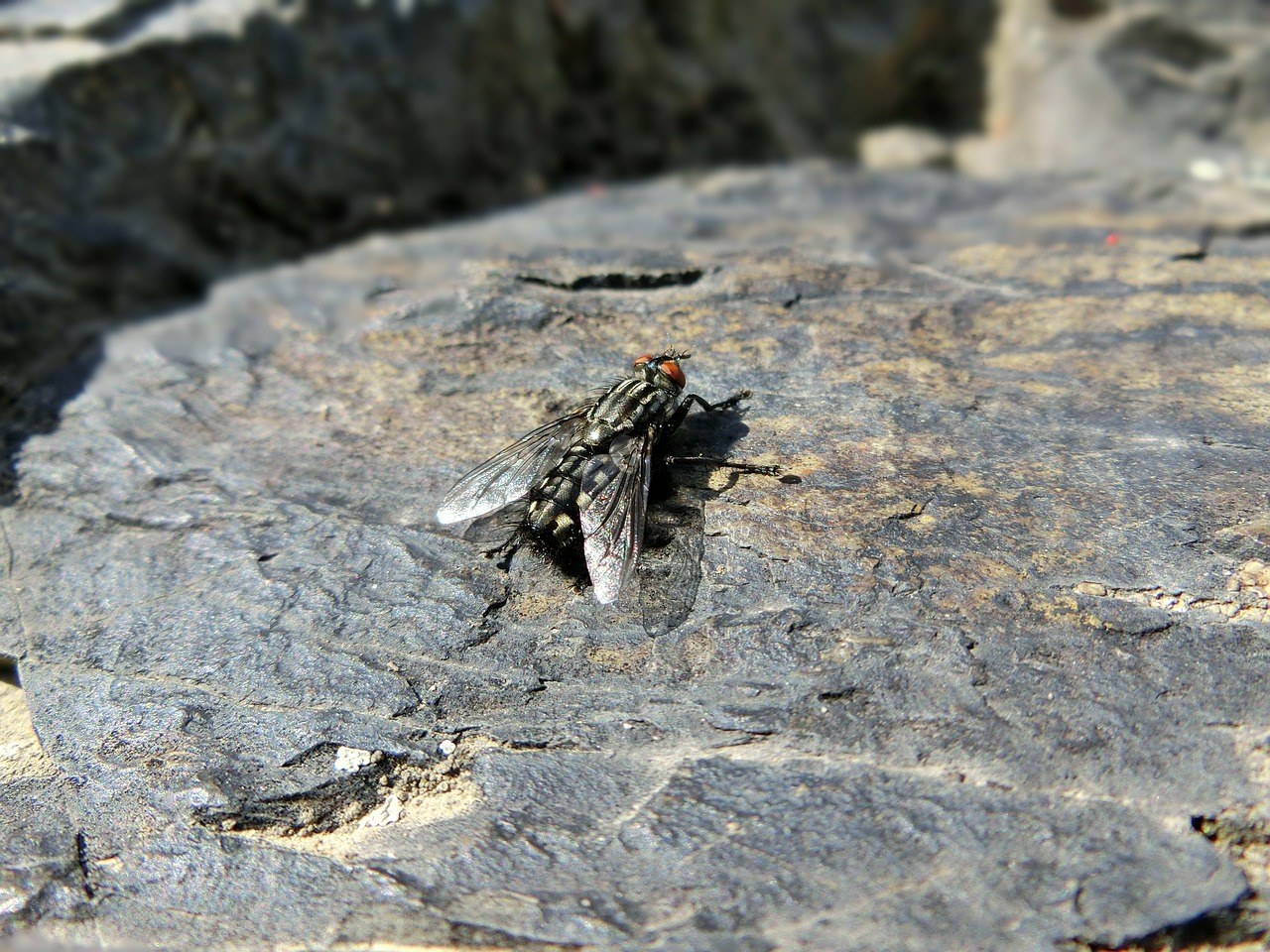 fly housefly insect free photo