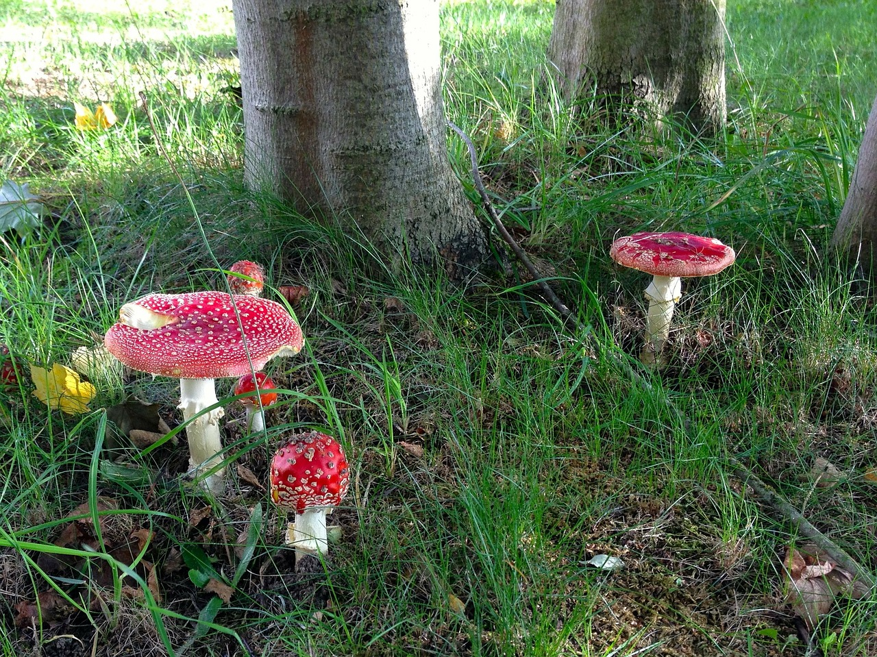 fly agaric mushroom forest free photo