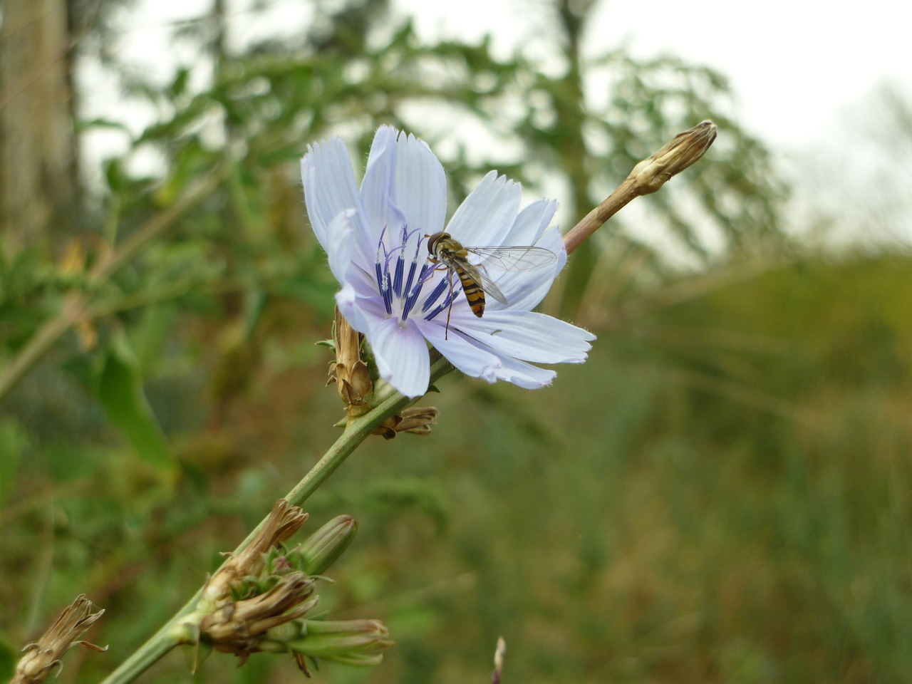 fly sieving chicory insect free photo