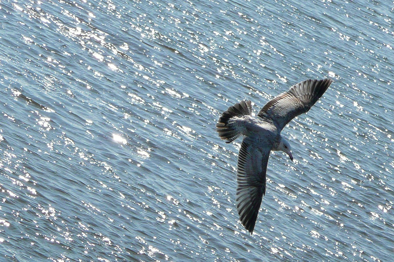 flying seagull bird free photo