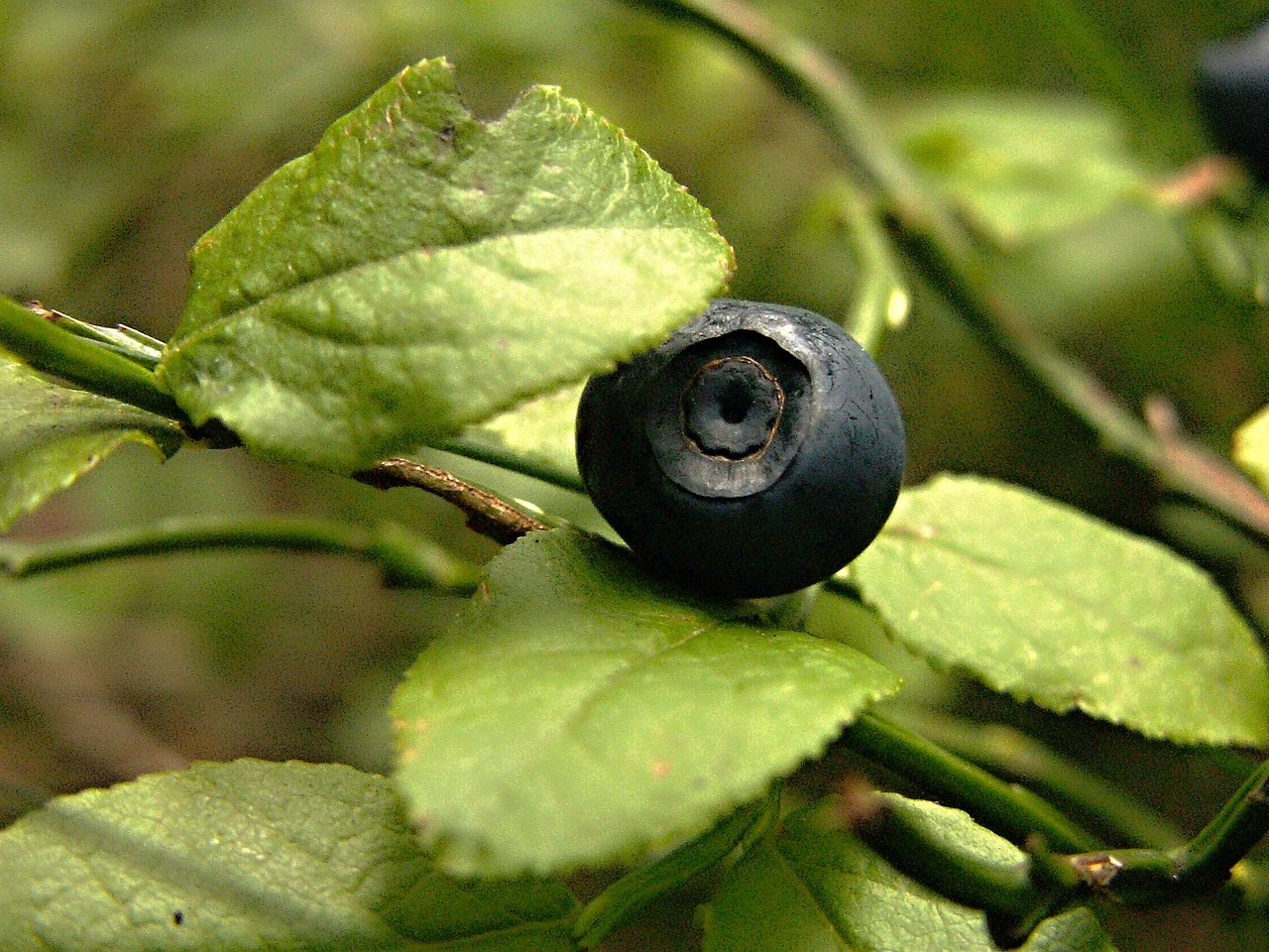 forest blueberries bilberry free photo
