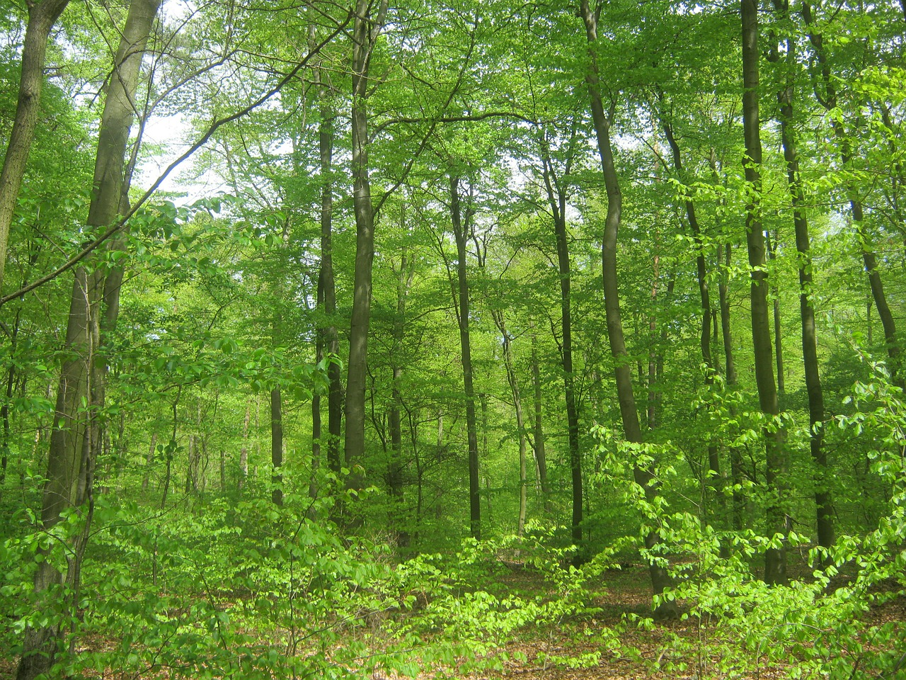 forest nature trees free photo