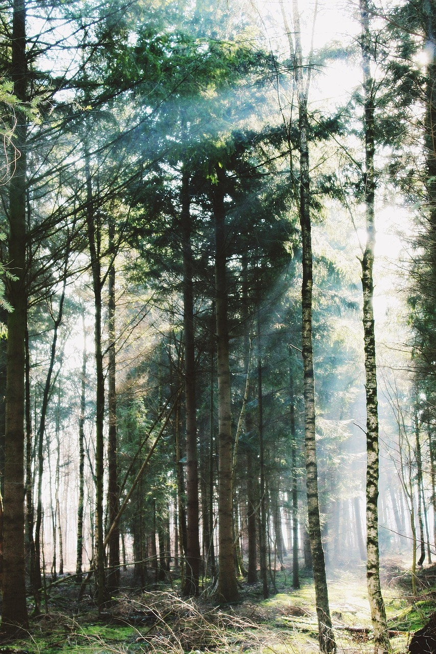 forest,trees,mystical,sun,back light,nature,landscape,forest path,away,flooded,winter,light,cold,mood,shadow,atmosphere,sunlight,bill,sunshine,rest,atmospheric,free pictures, free photos, free images, royalty free, free illustrations, public domain