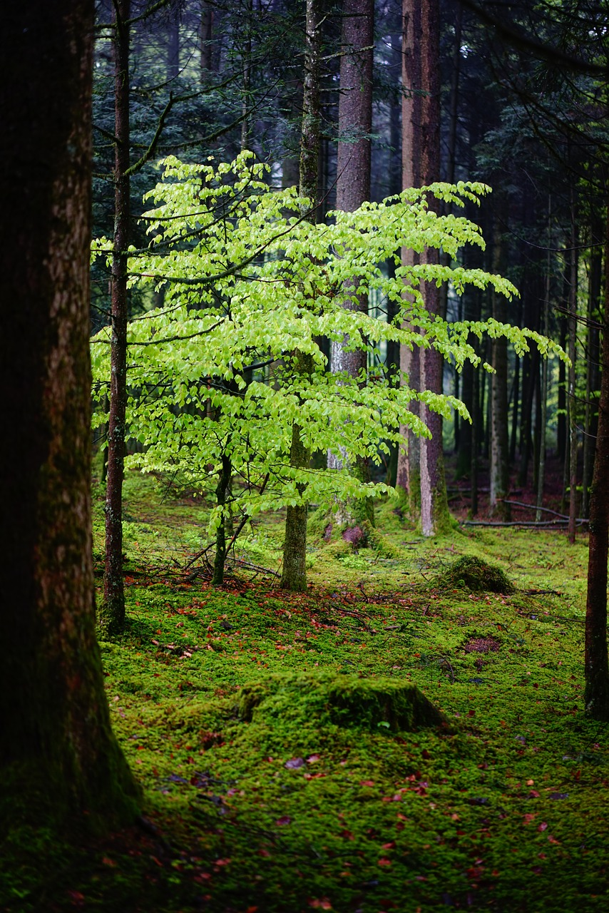 forest beech leaves free photo